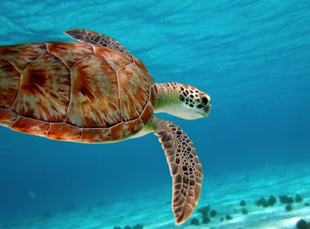 tobago-cays-turtle