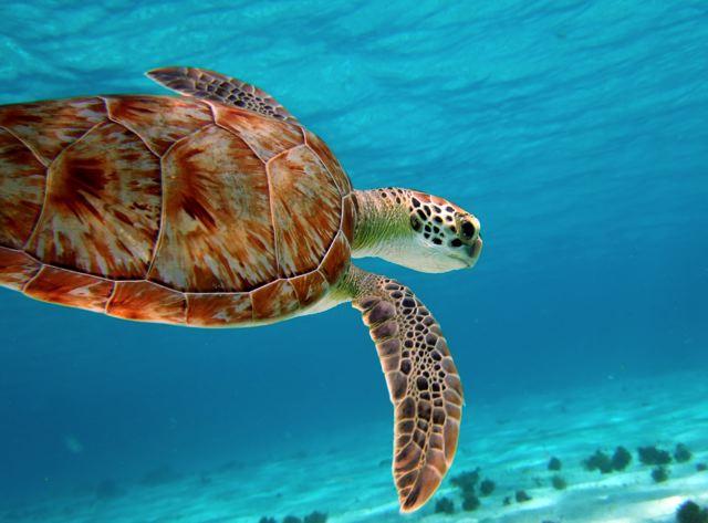 tobago-cays-turtle